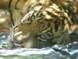Jalur_Tiger_Cub