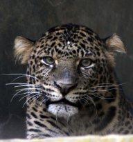 Panthera pardus melas