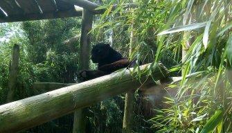 Gibbon05