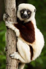 Lemur02