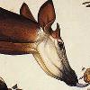 Okapipako