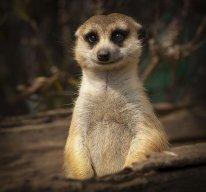 meerkat man