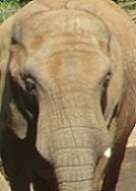 Elephantelephant