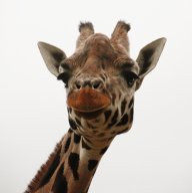GiraffeJack10