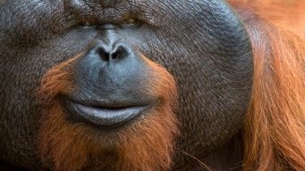Orangutan Flanges