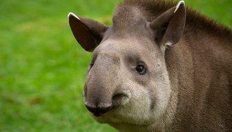 Tapir Master