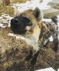 hyena142