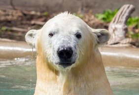 Polar bear fan