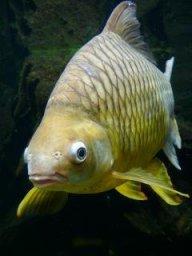 sourangelfish
