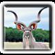 Kudu21