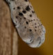 GoldenLeopard