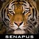 Senapus