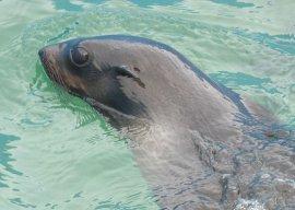 callorhinus