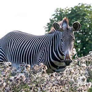 Grévy's zebra : Whipsnade : 25 Aug 2017