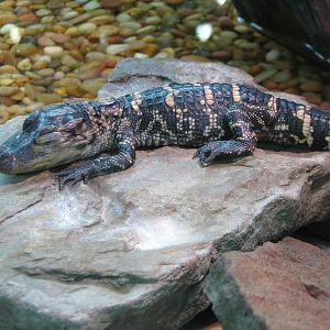 Baby american crocodile