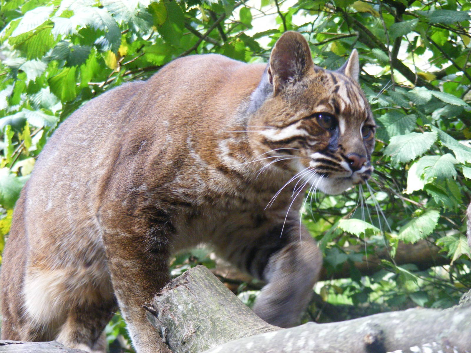 What Big Cats Does Edinburgh Zoo Have