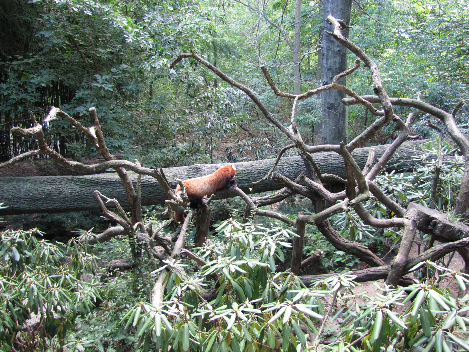 Bronx Zoo 2010 - Red Panda in Himalayan Highlands - ZooChat