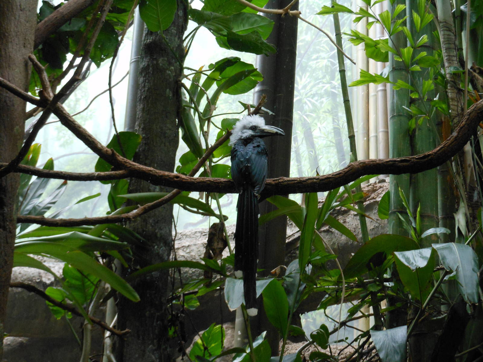 Bronx Zoo White Crested Hornbill Congo Gorilla Forest Zoochat