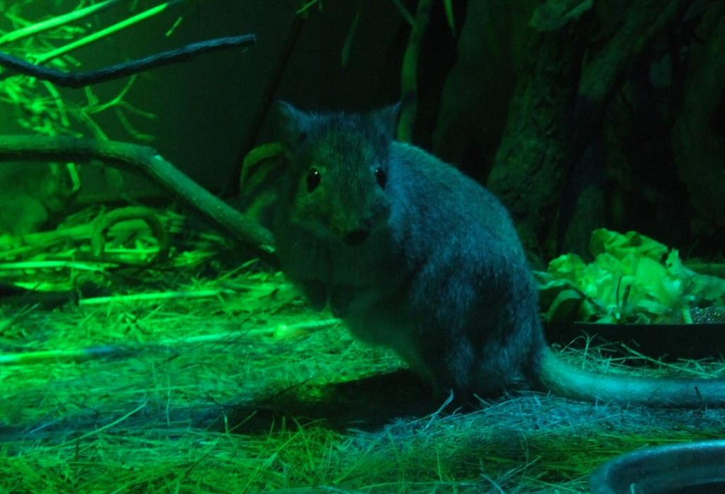 Brush Tailed Rat Kangaroo Budapest Zoo Zoochat