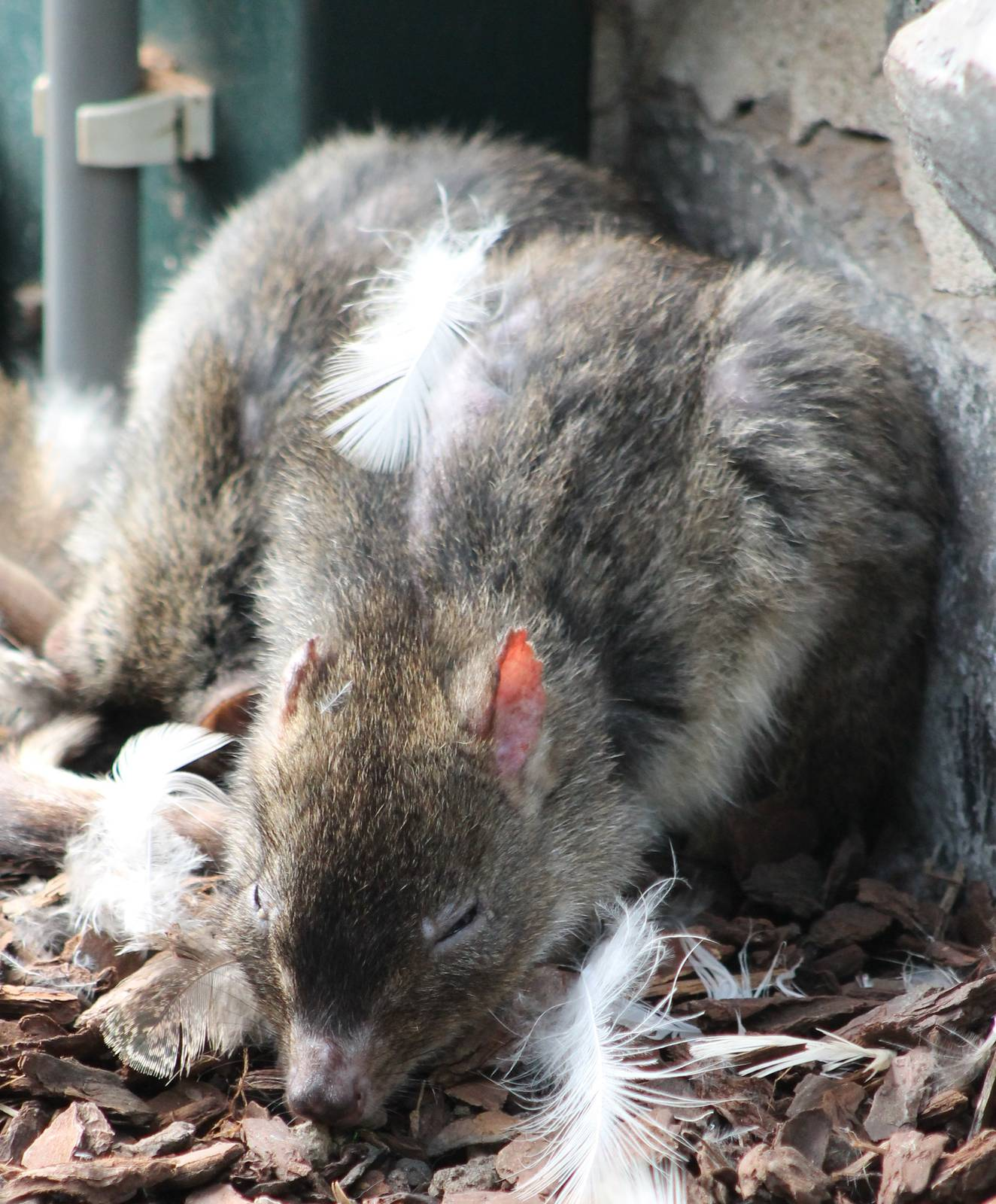 Brush Tailed Rat Kangaroo Zoochat