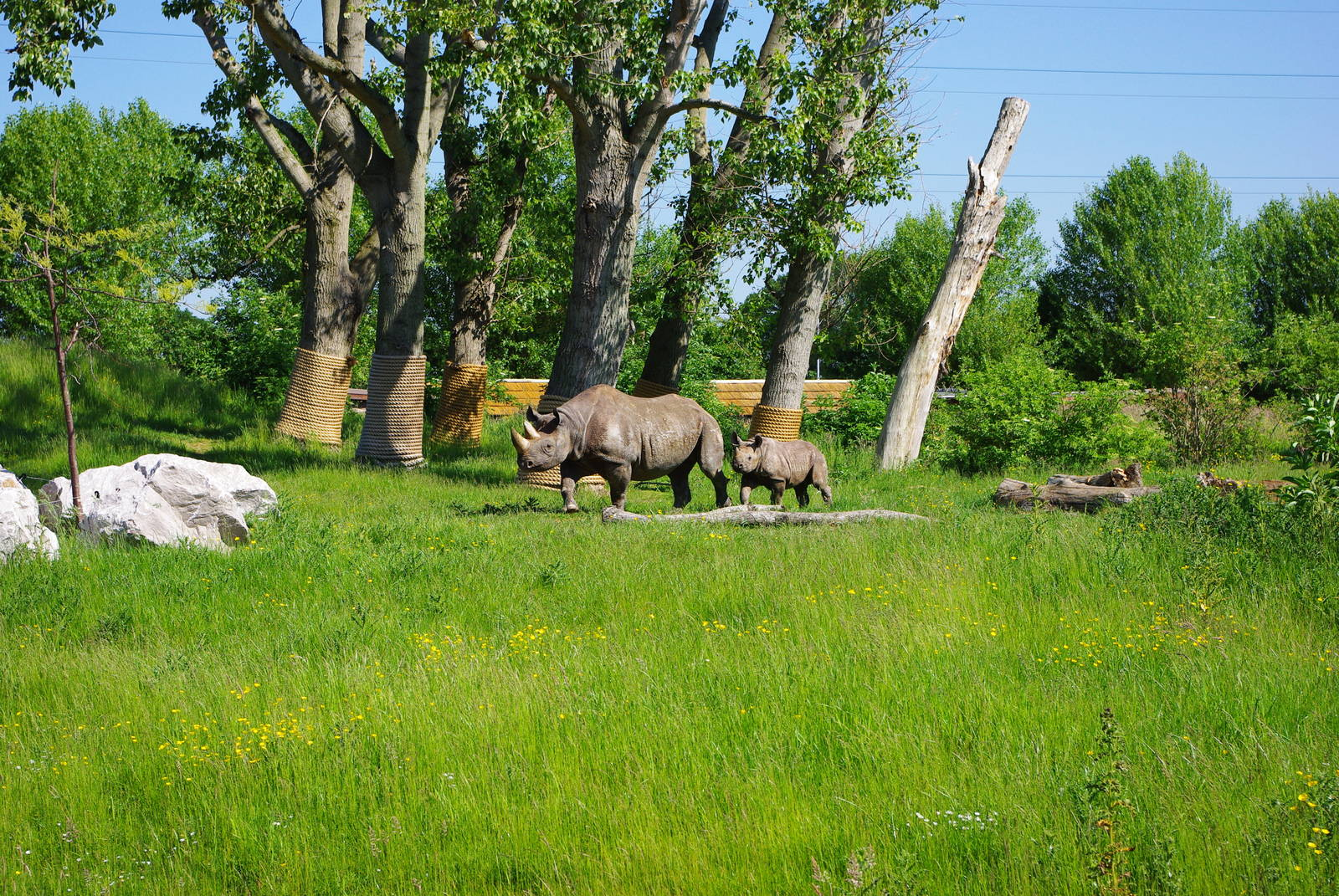 Chester Zoo - Black Rhino