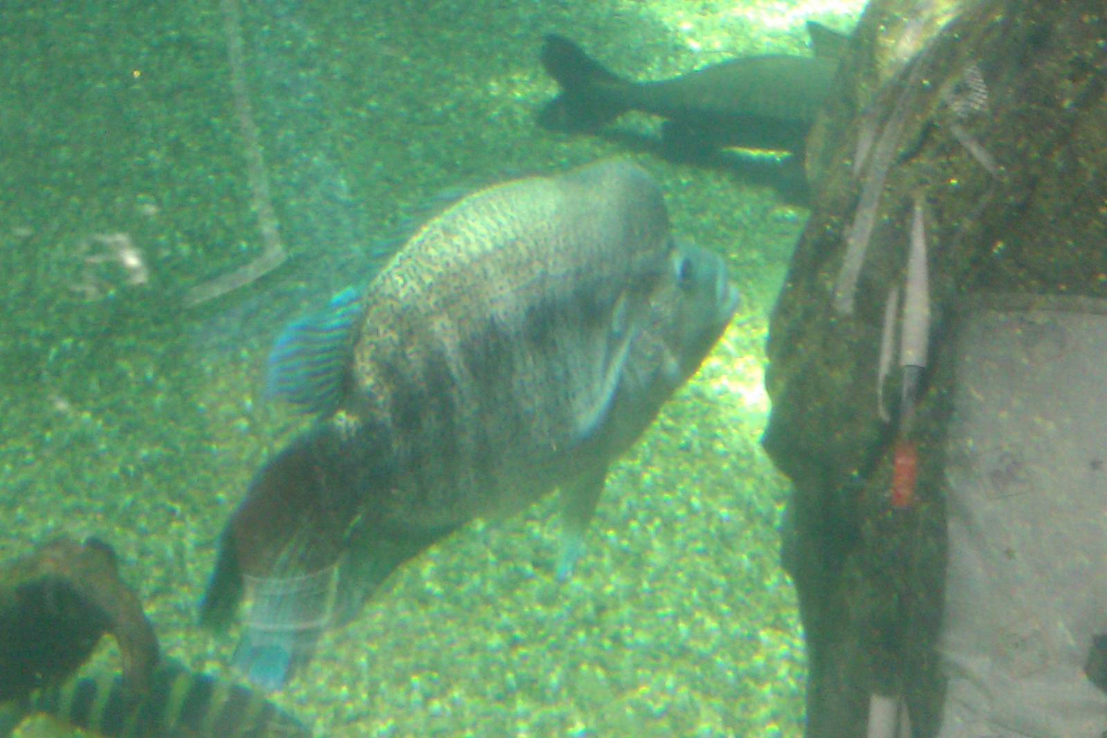 cool looking fish in Freshwater amazon Tank | ZooChat