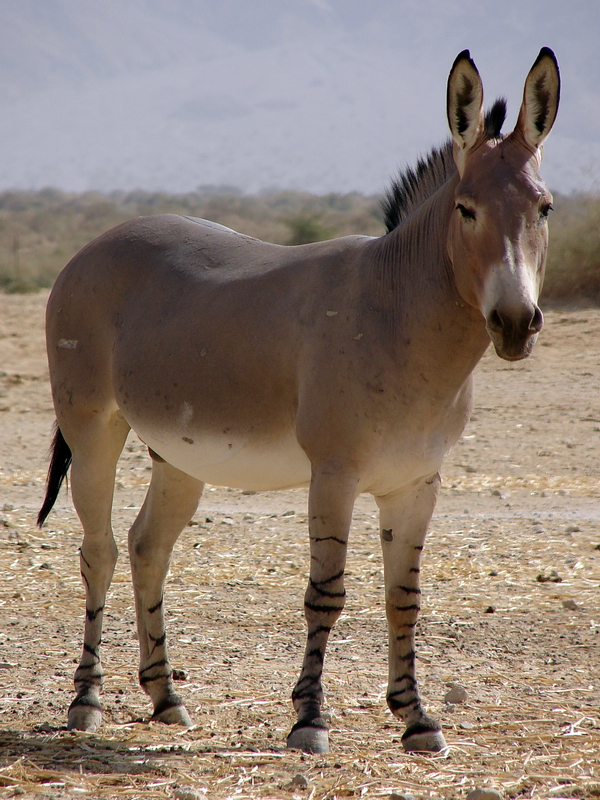 https://www.zoochat.com/community/media/equus-asinus-somalicus-somali-wild-ass-male.221844/full?d=1367089215