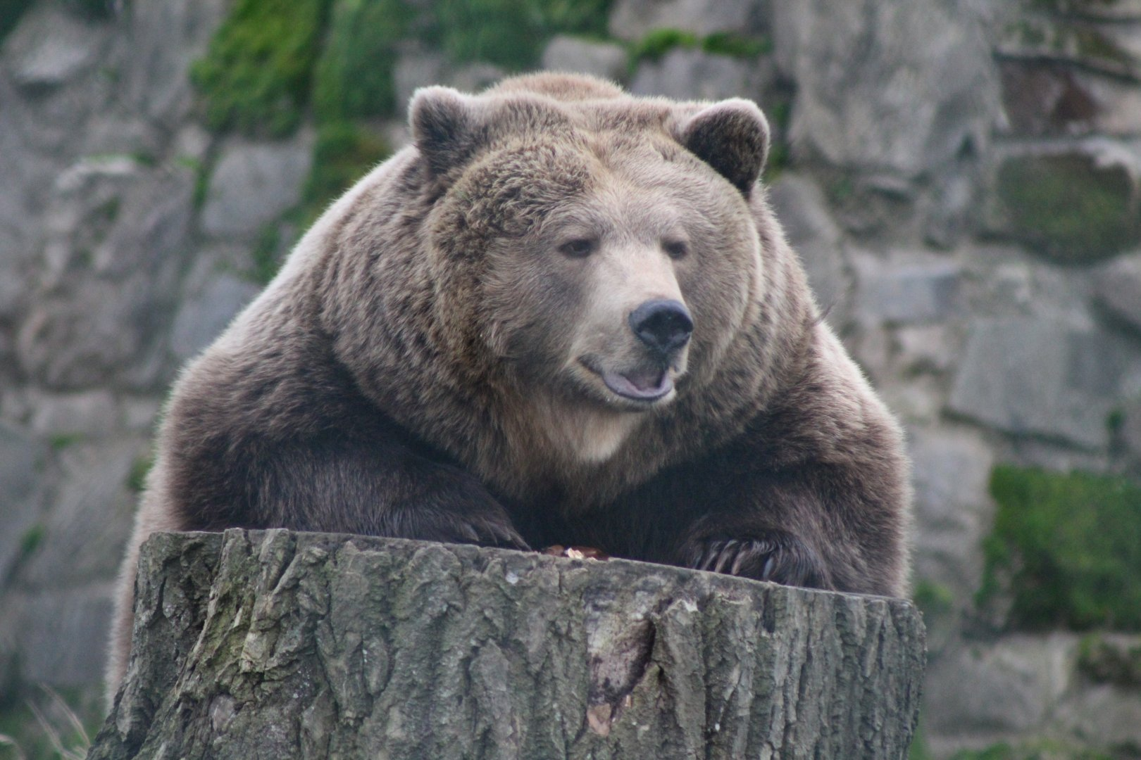 The bear, a missing predator of the Caledonian Forest