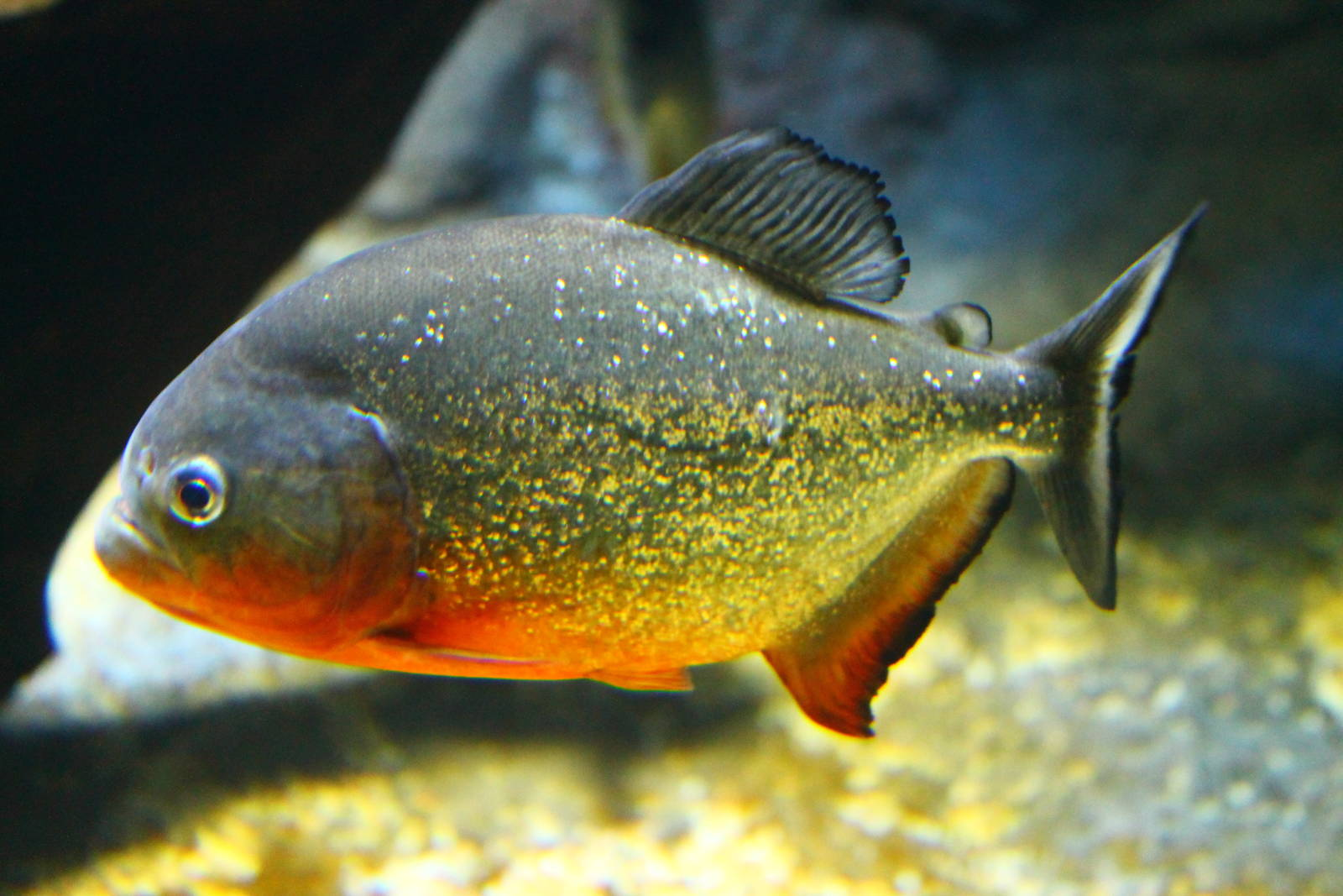 Image gallery spotted piranha for Community fish list
