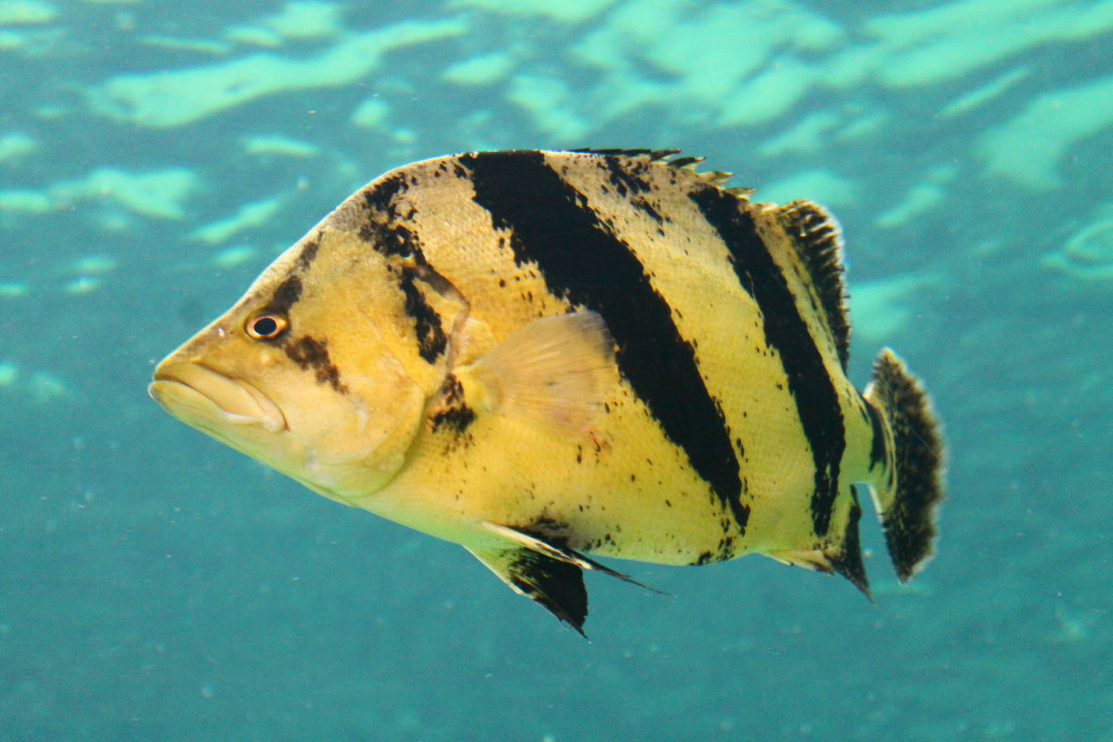 1000  images about Siamese tiger fish on Pinterest | Siamese ...
