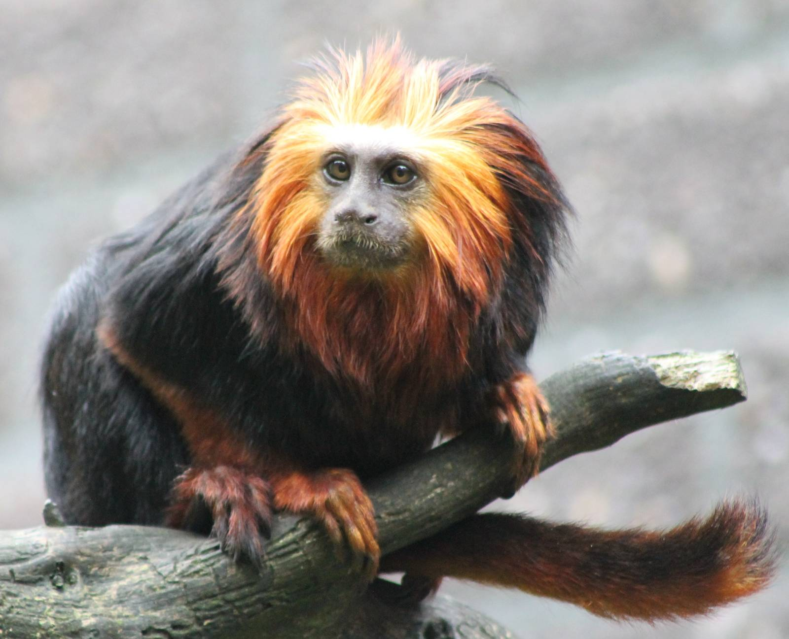 golden lion tamerin The golden lion tamarin is an endangered monkey living in the atlantic forest of brazil it is named for its orange and red fur around its face it is very small and light, with a long tail.