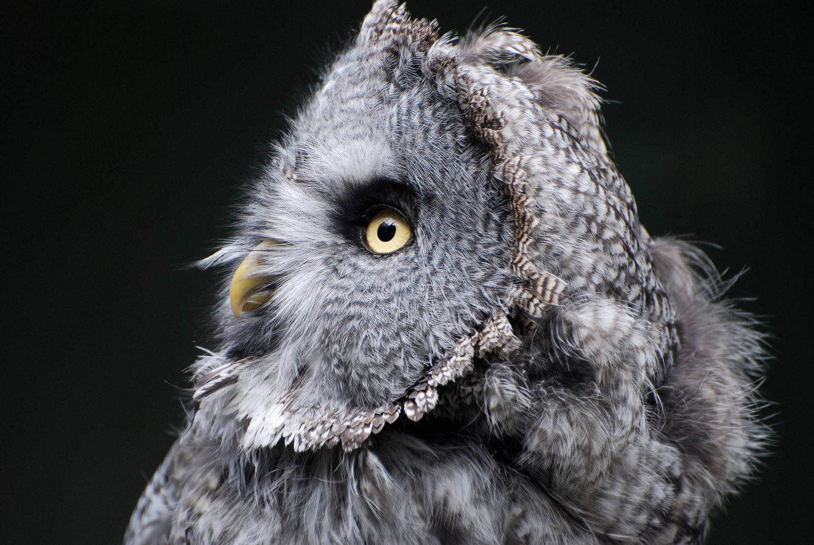 great gray owl facts - HD1600×1071