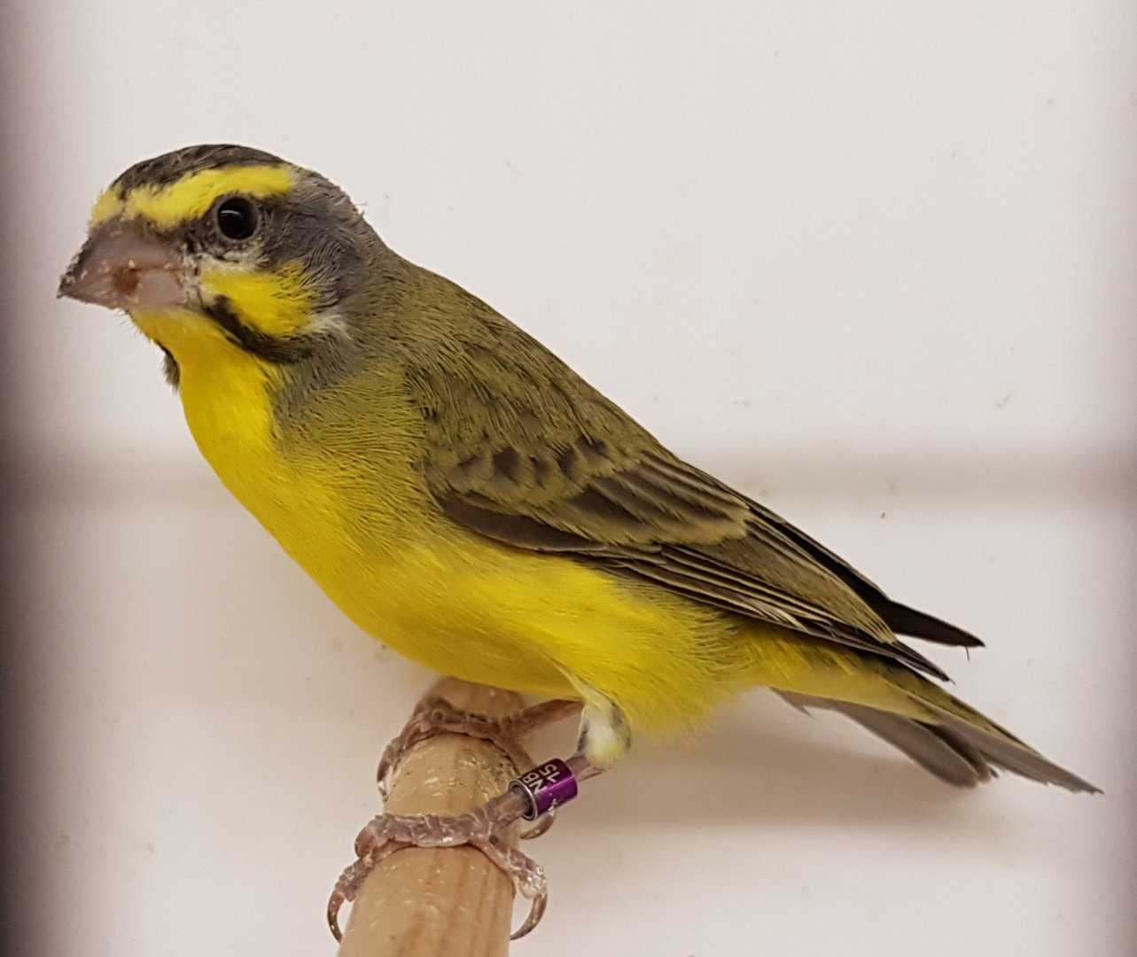 Green Singing Finch Aka Yellow Fronted Canary Zoochat