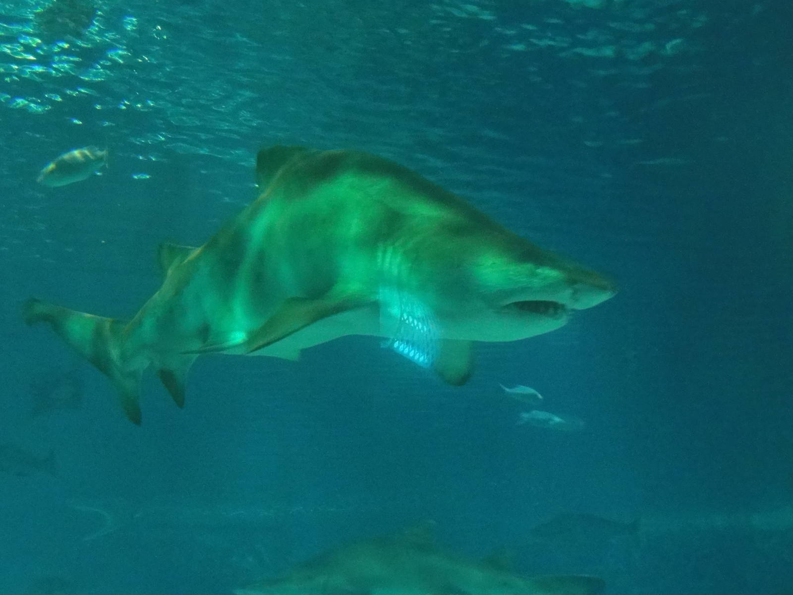 shark back shark fishing spinfishers back to blacktip sharks  hunchback shark zoochat hunchback shark