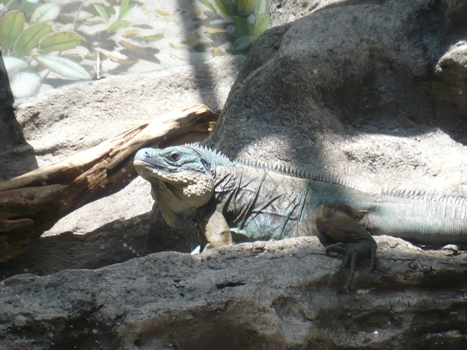 Islands And Lakes Exhibit Grand Cayman Blue Iguana