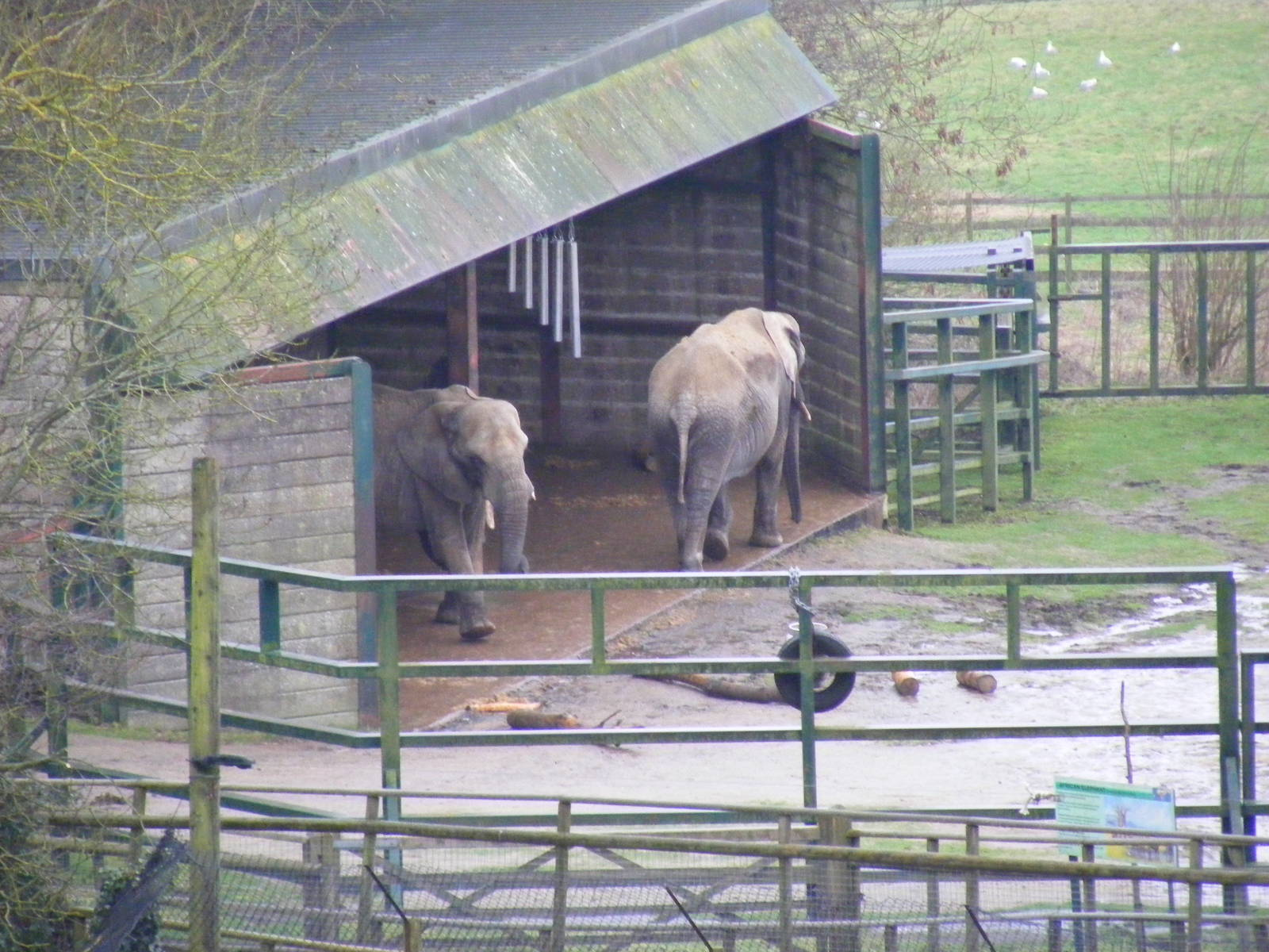 issa and lara the african elephants at port lympne wild