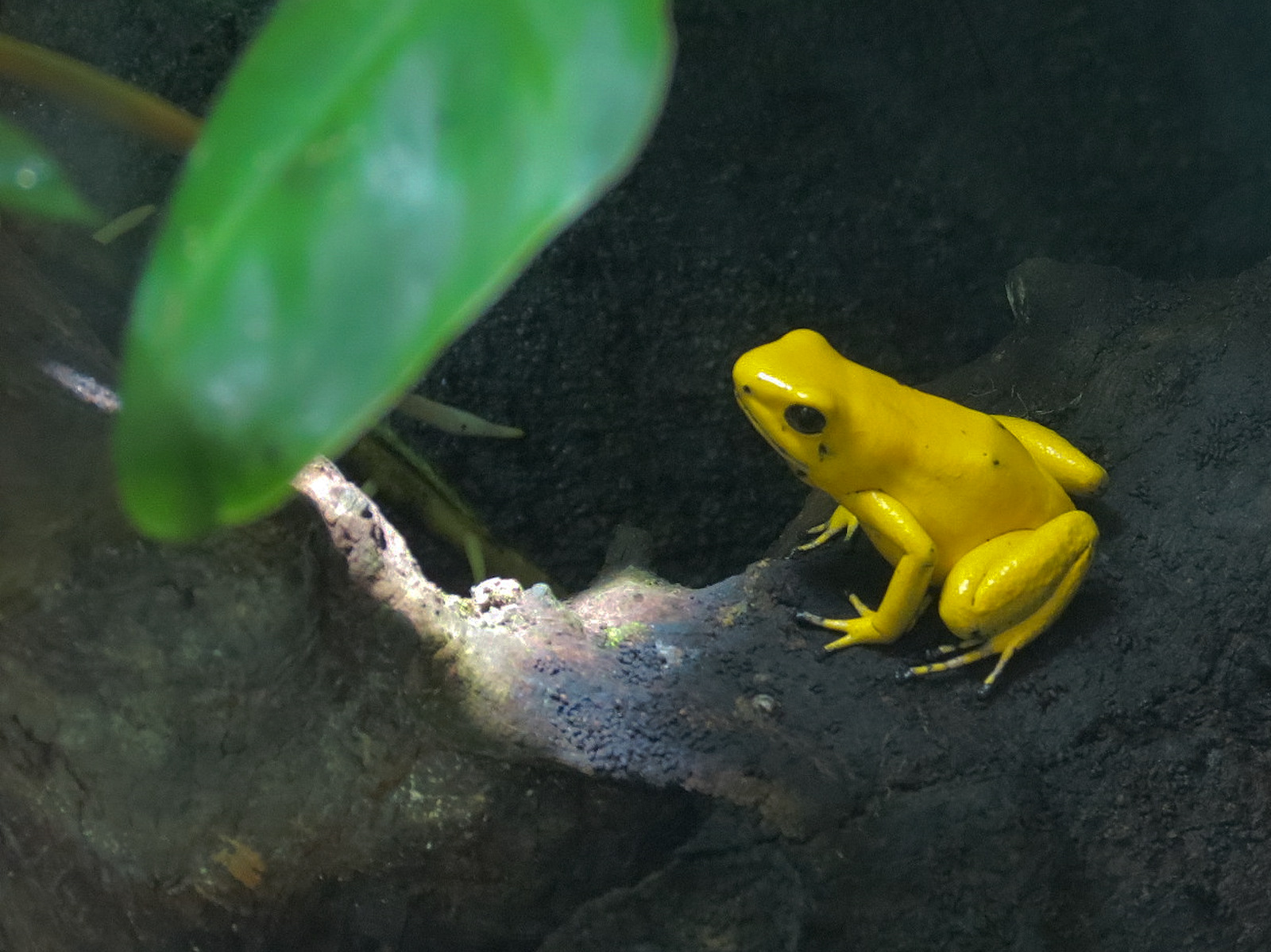 Gold frog of south america
