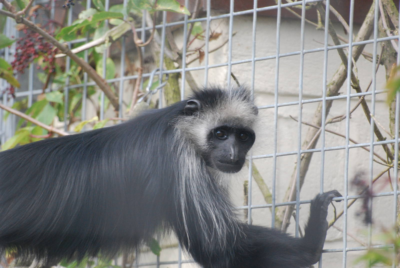 the characteristics of the colobus monkey a medium sized monkey from africa