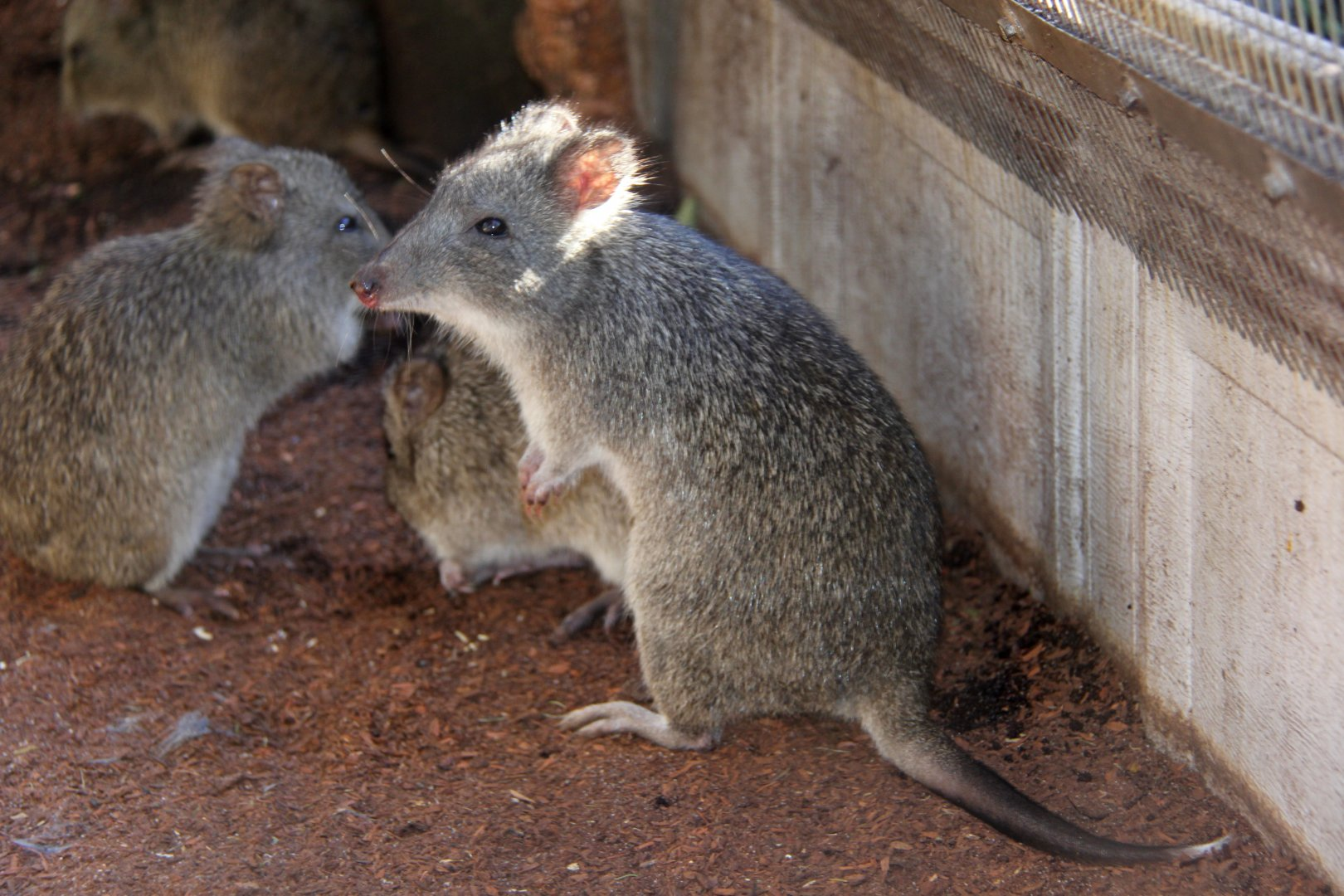 Image result for long nose potoroo