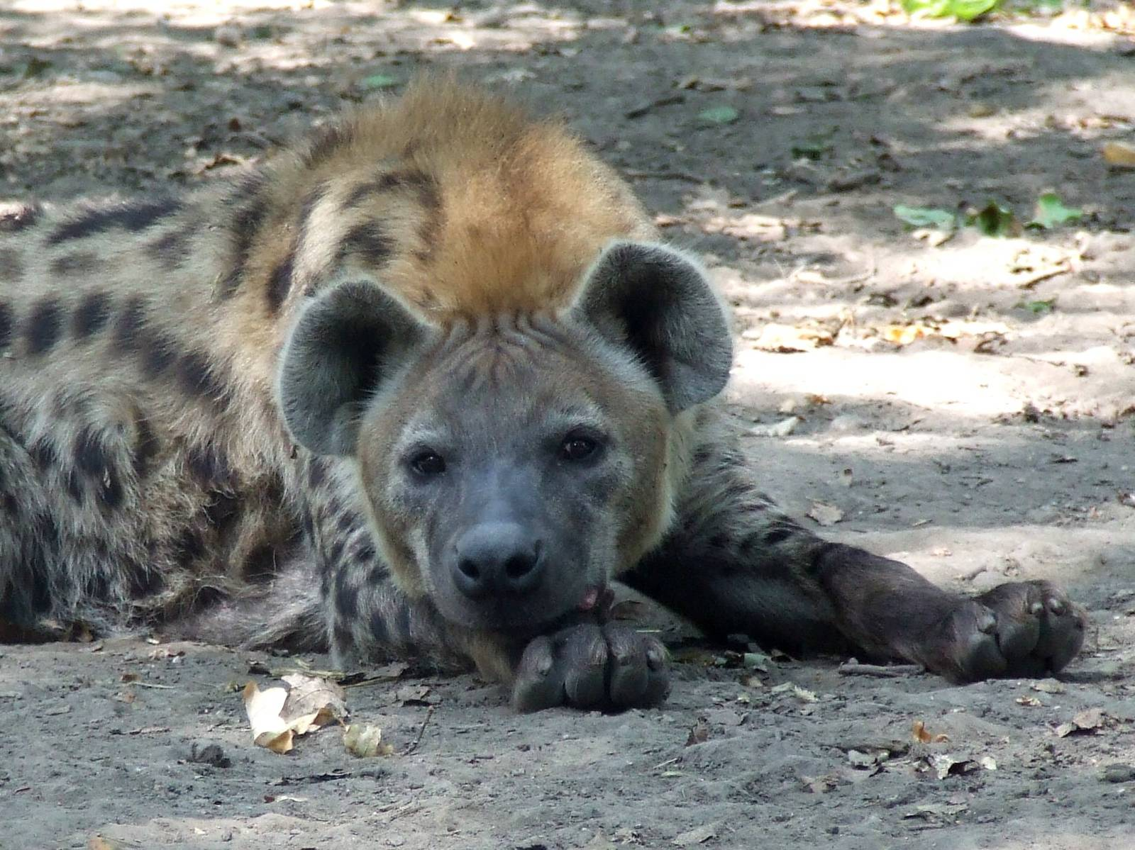 Male Spotted hyena @ Szeged Zoo, Hungary | ZooChat