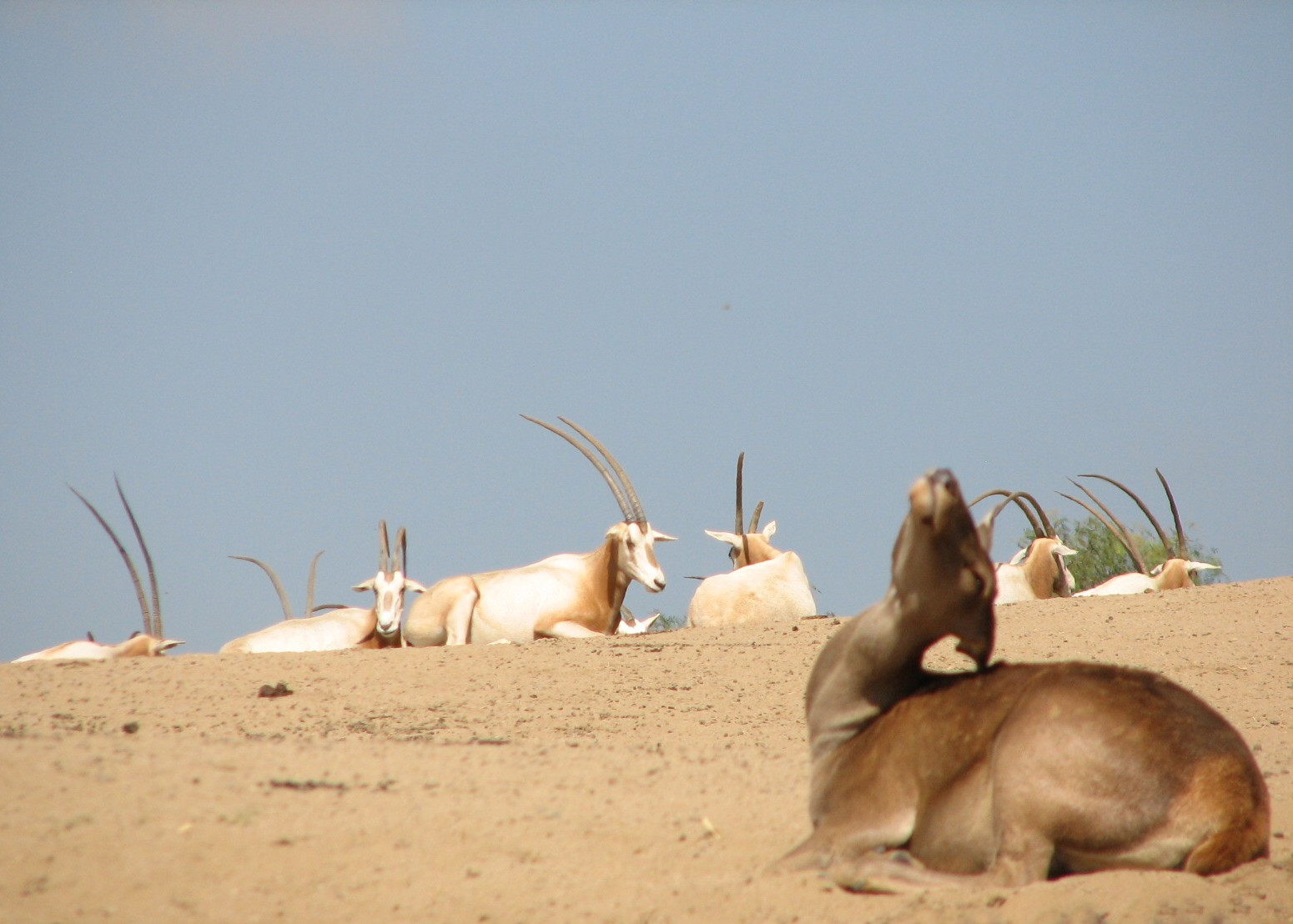 https://www.zoochat.com/community/media/north-africa-exhibit-barbary-red-deer-and-scimitar-horned-oryx.71203/full?d=0