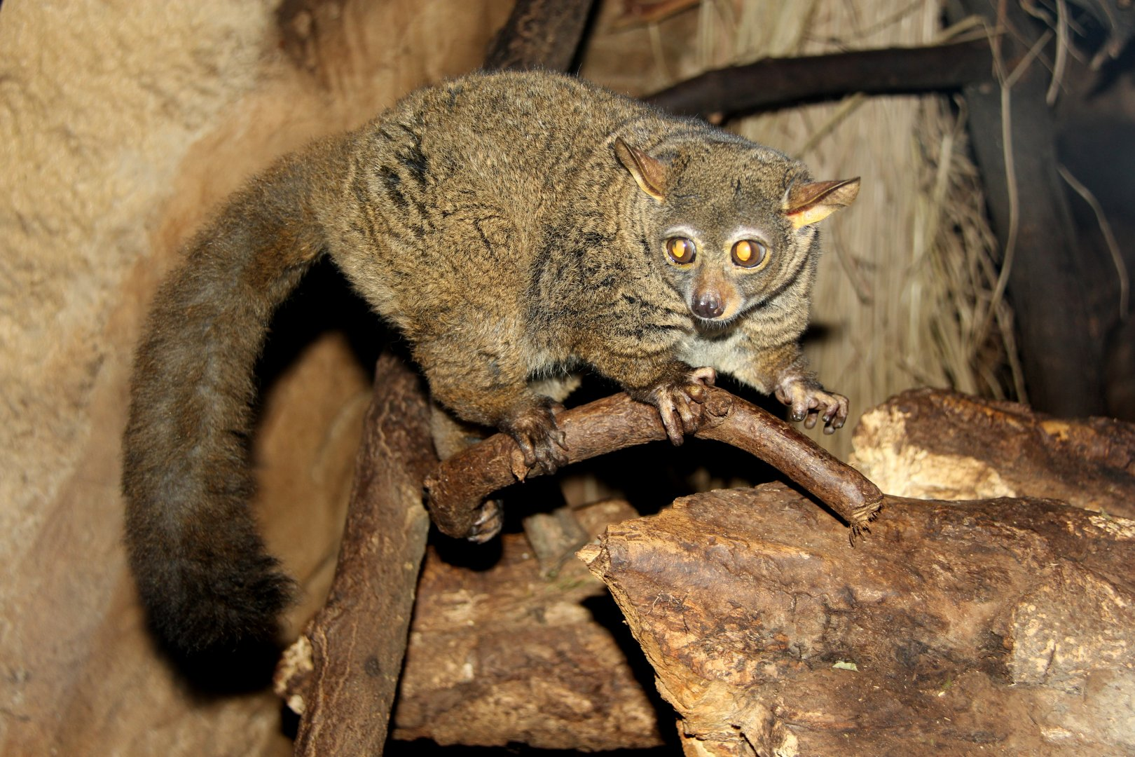 northern greater galago