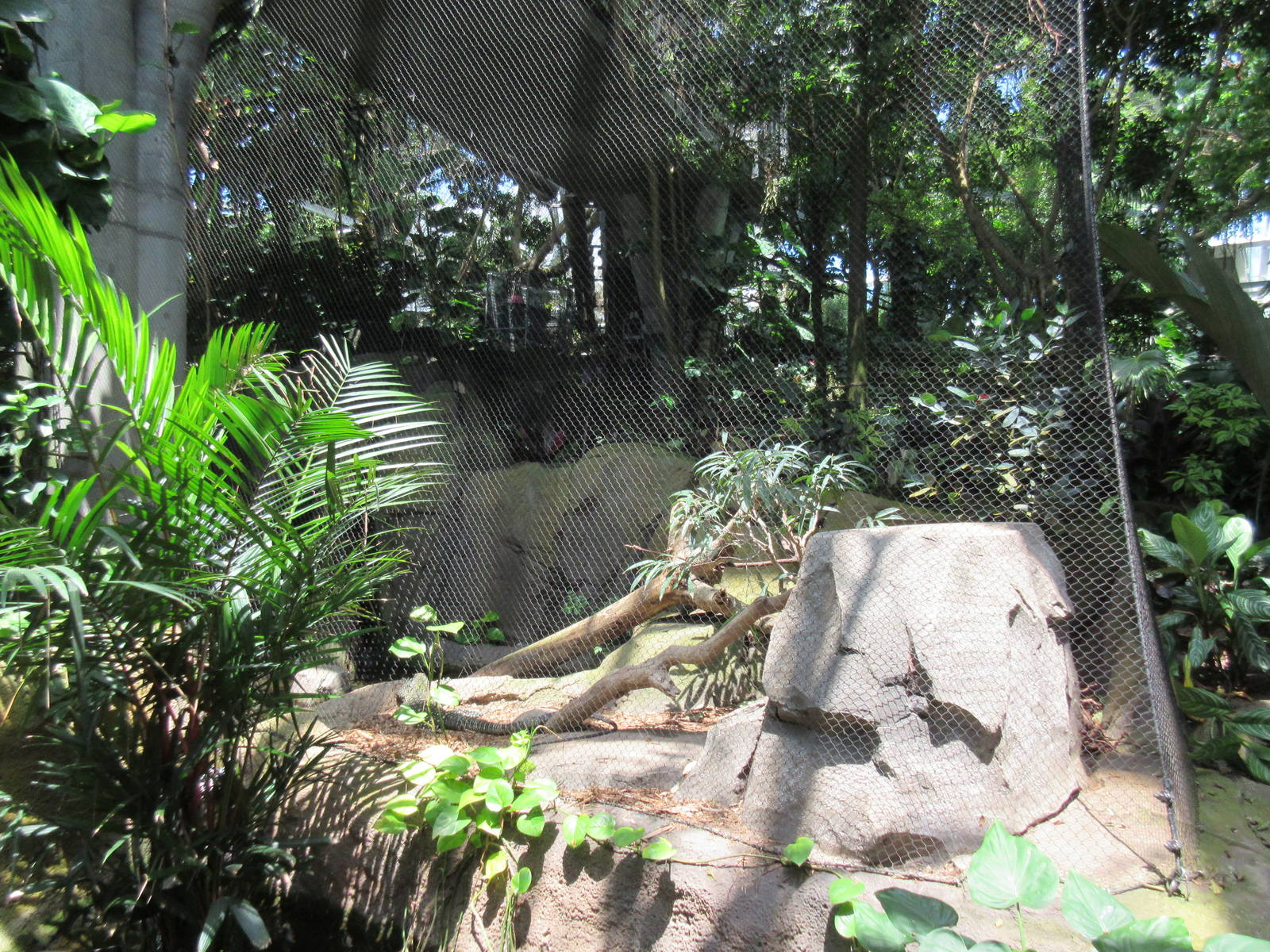 Rainforest Pyramid Crocodile Monitor Exhibit Zoochat