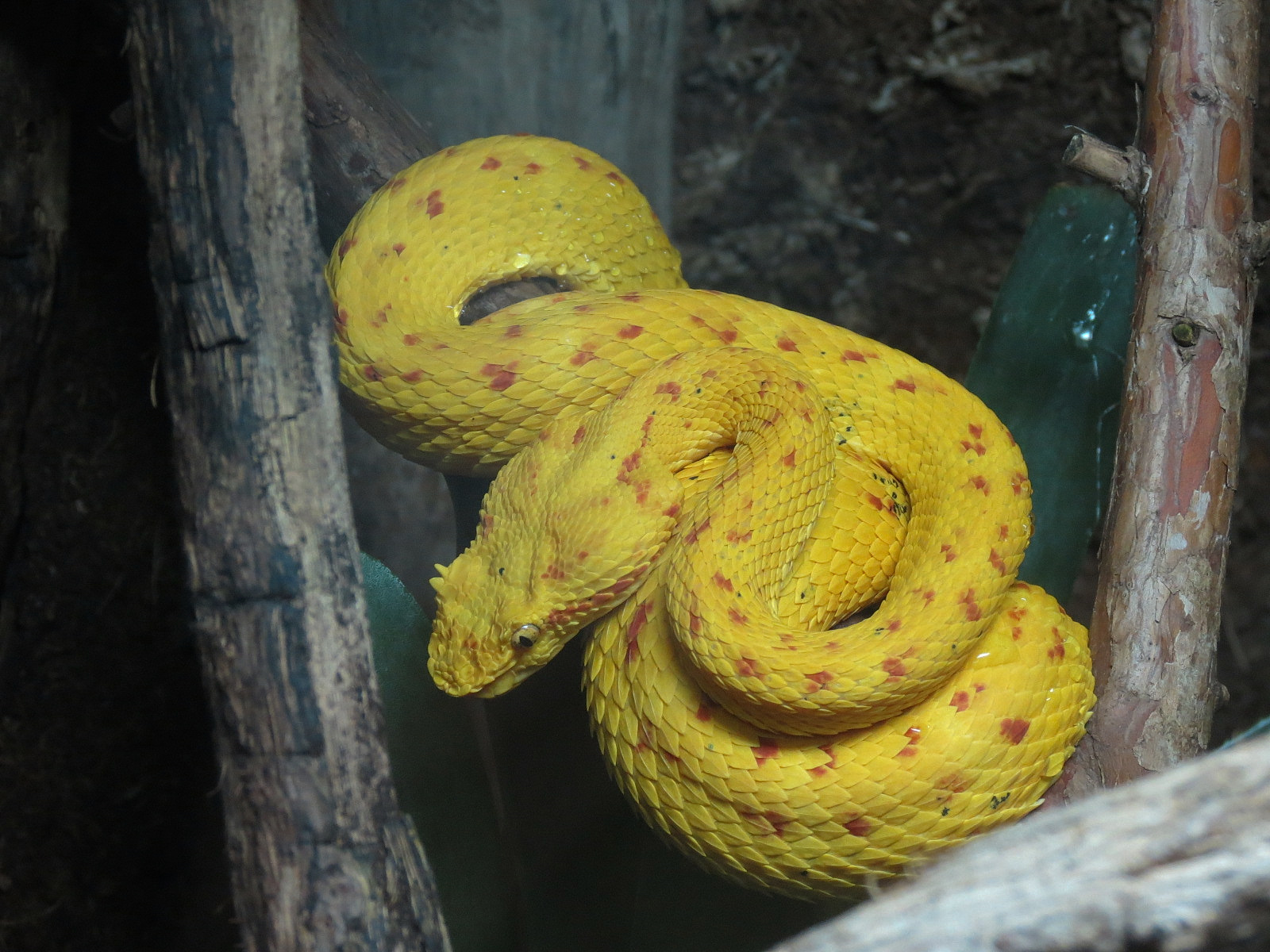 Reptile Encounter Eyelash Viper Zoochat