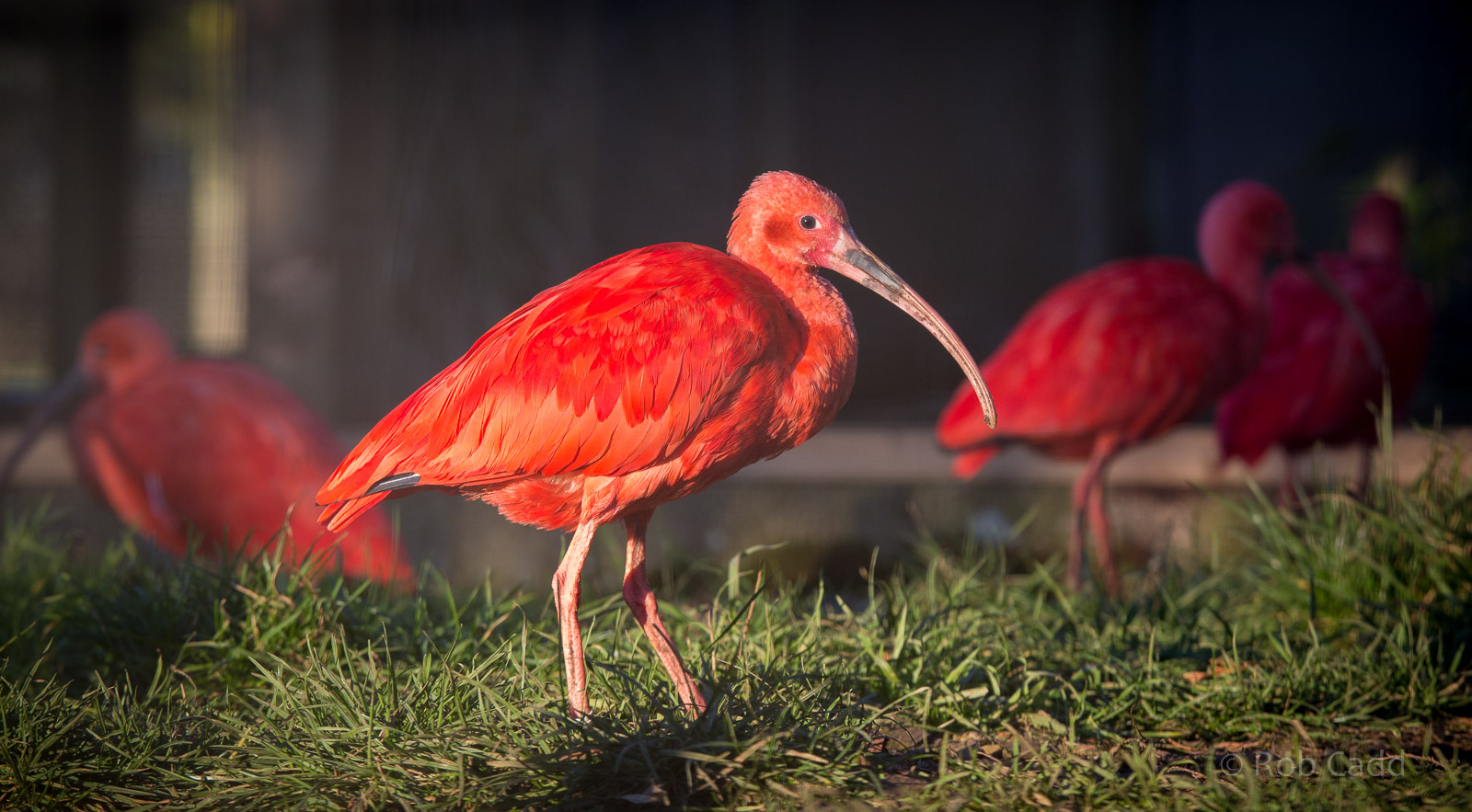 scarlet ibis analysis In the short story the scarlet ibis by james hurst, has various themes a theme is a subject, topic or ideas that happen throughout a short story, essay, or a composition.