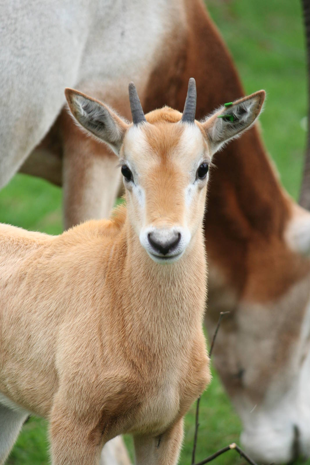 https://www.zoochat.com/community/media/scimitar-horned-oryx-calf.108091/full?d=1280694454