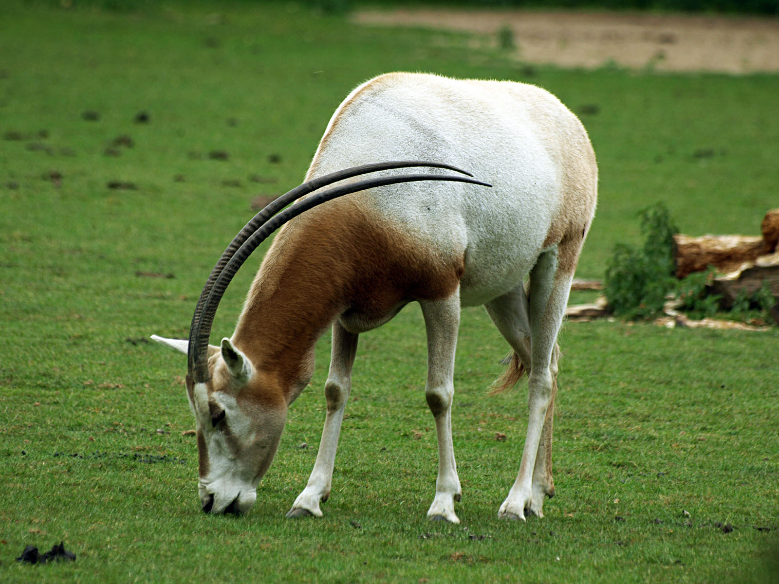 https://www.zoochat.com/community/media/scimitar-horned-oryx.184114/full?d=1334918443