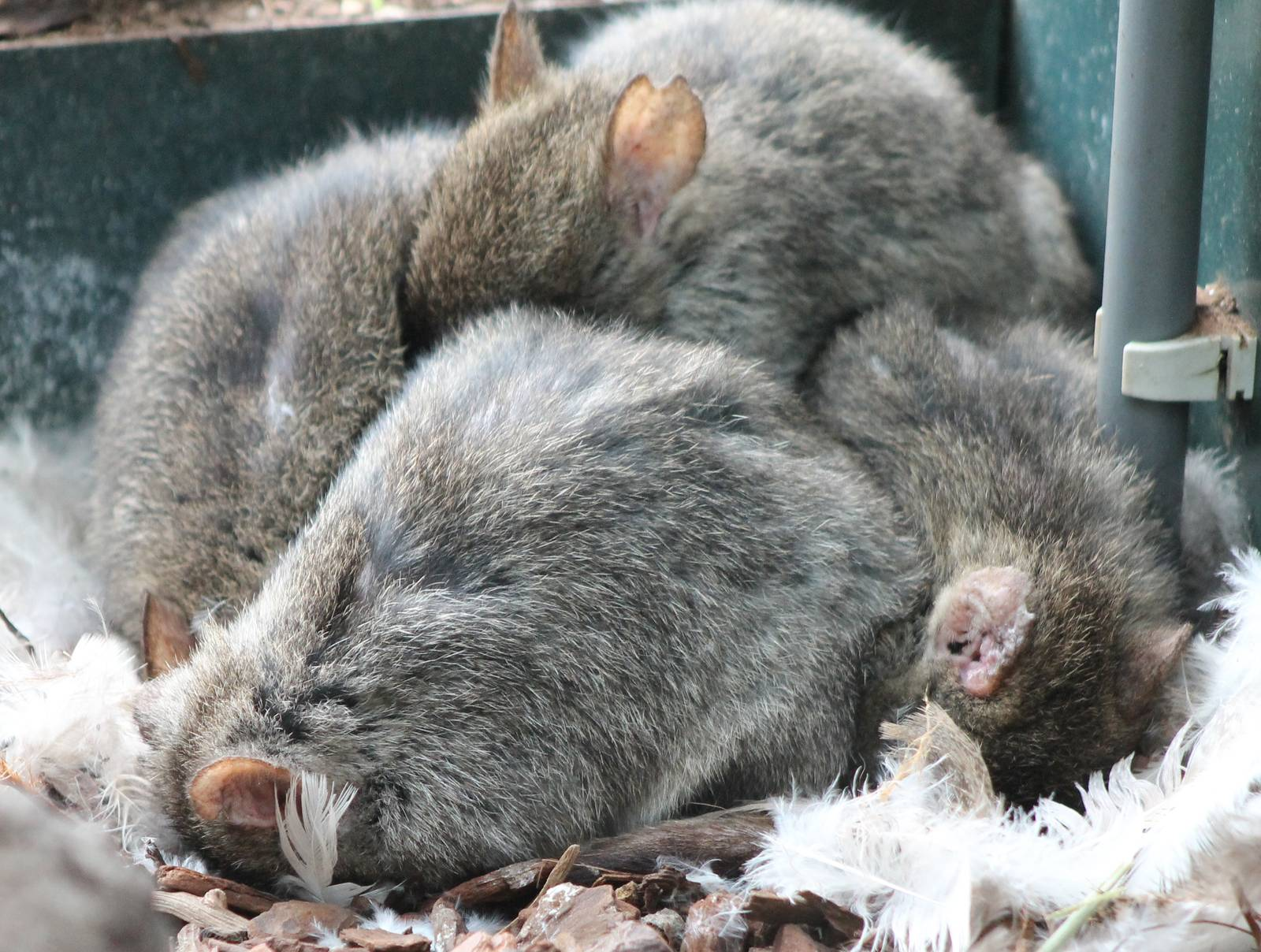 Sleeping Brush Tailed Rat Kangaroos Zoochat