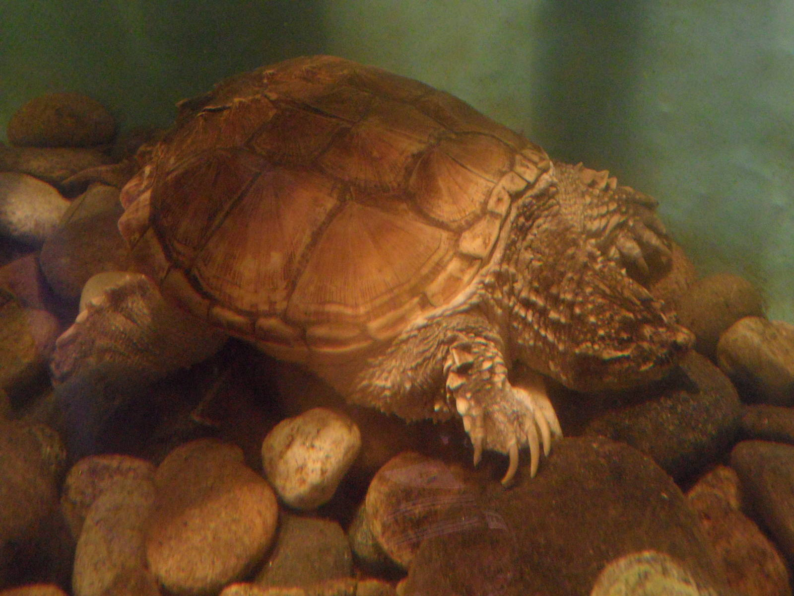 Snapping turtle - ZooChat