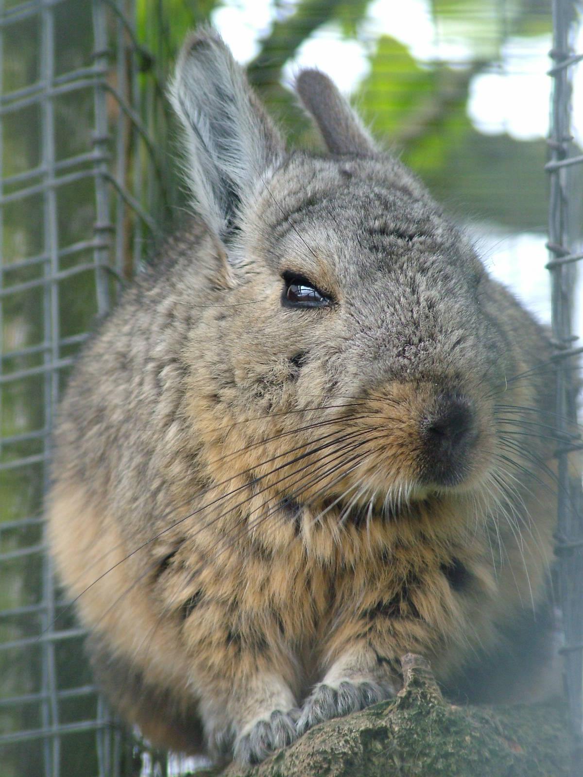 southern mountain viscacha at hamerton 05 04 10 zoochat. Black Bedroom Furniture Sets. Home Design Ideas